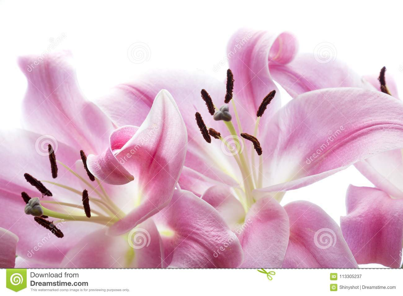 Pink Lilies Flower Bouquet Macro Isolated On White Stock Image