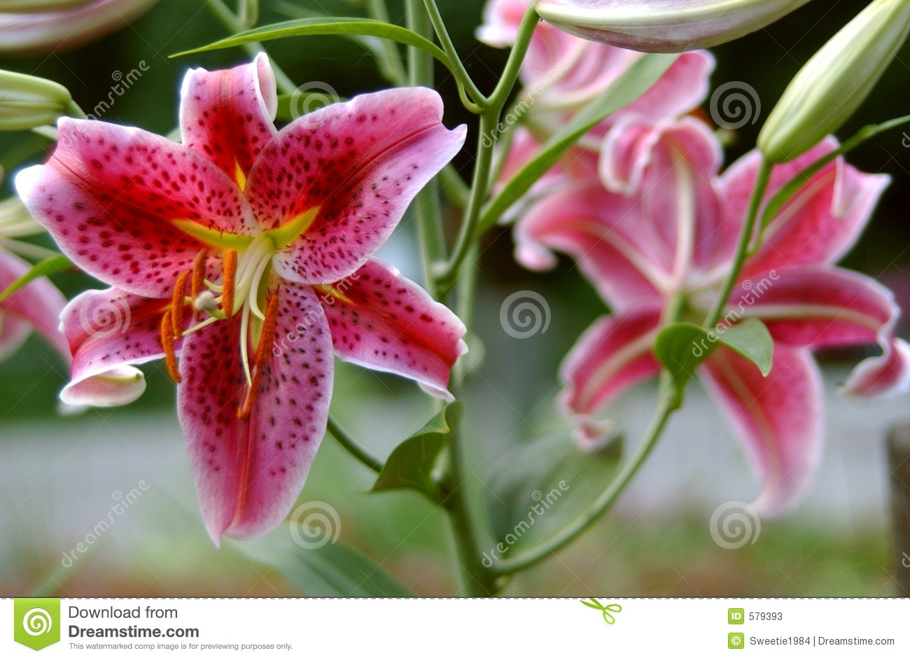 pink lillies stock photos  image, Beautiful flower