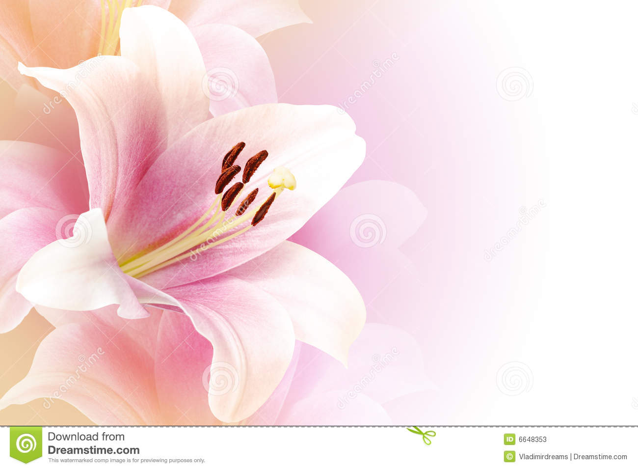 Pink Lily Background With Copy Space Stock Photos - Image: 6648353