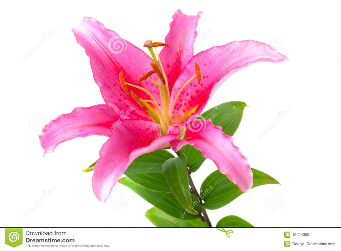 pink lily flower royalty free stock images  image, Natural flower