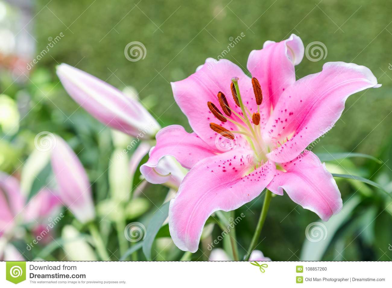 Pink lily flower beautiful lily flower and green leaf background in pink lily flower beautiful lily flower and green leaf background in lily flower garden at izmirmasajfo