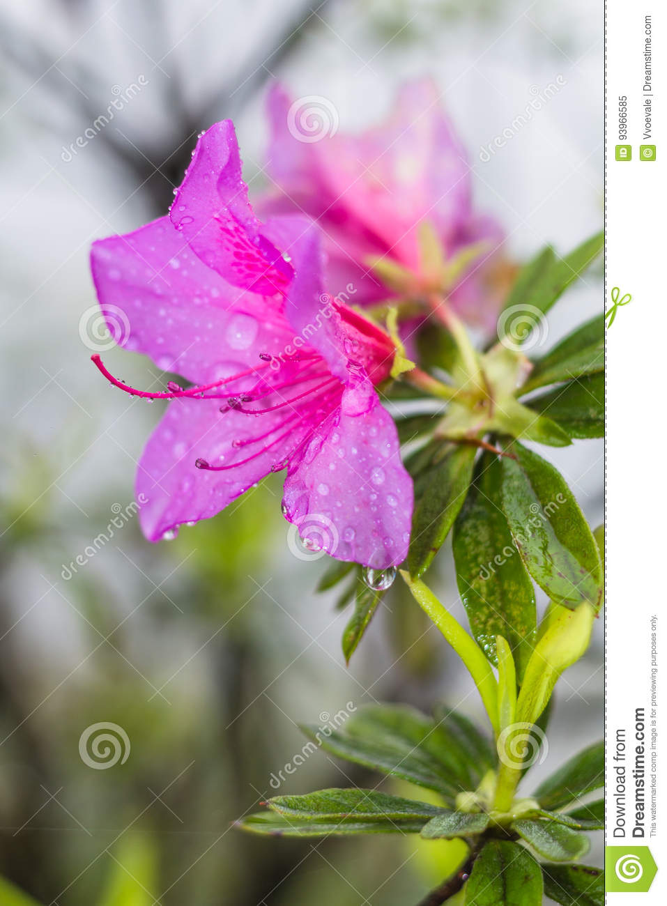 Pink Lily Flower In Spring Rain Stock Image Image Of Raindrop