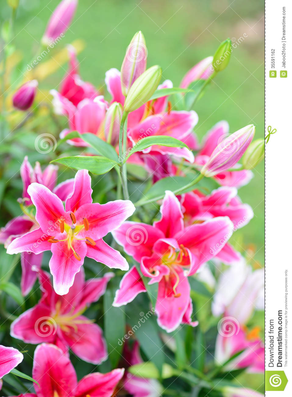 Pink Lily Flowers In The Garden Stock Photo Image Of Lily Flower
