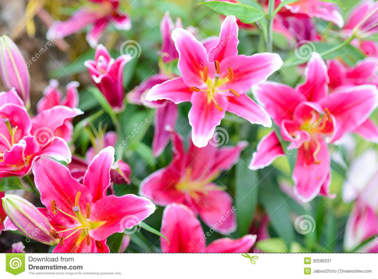 Pink Lily Flowers In The Garden Stock Image Image Of Sweet Flower