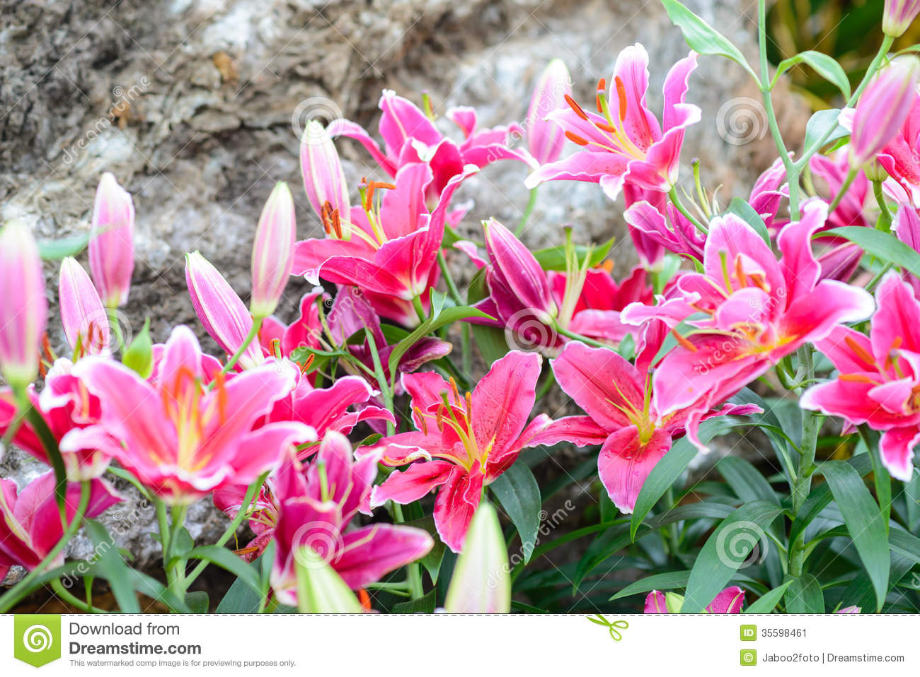 Pink Lily Flowers In The Garden Stock Photo 35598461 Megapixl
