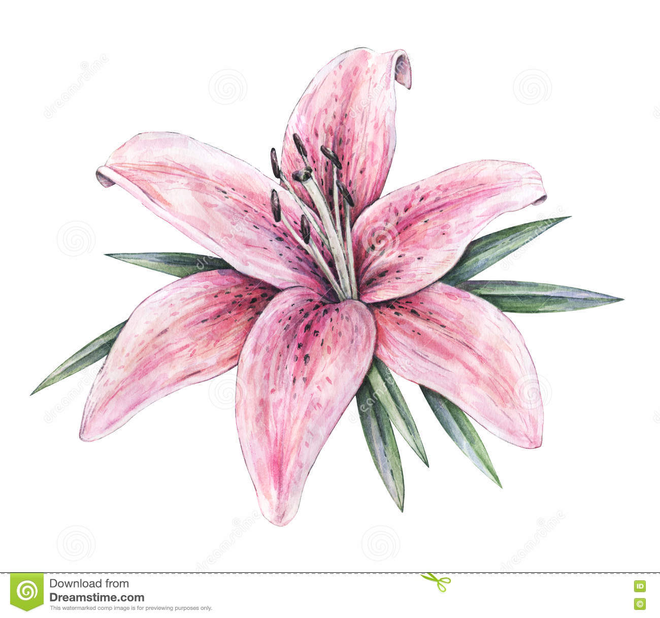Pink lily flowers isolated on white background watercolor handwork pink lily flowers isolated on white background watercolor handwork illustration izmirmasajfo