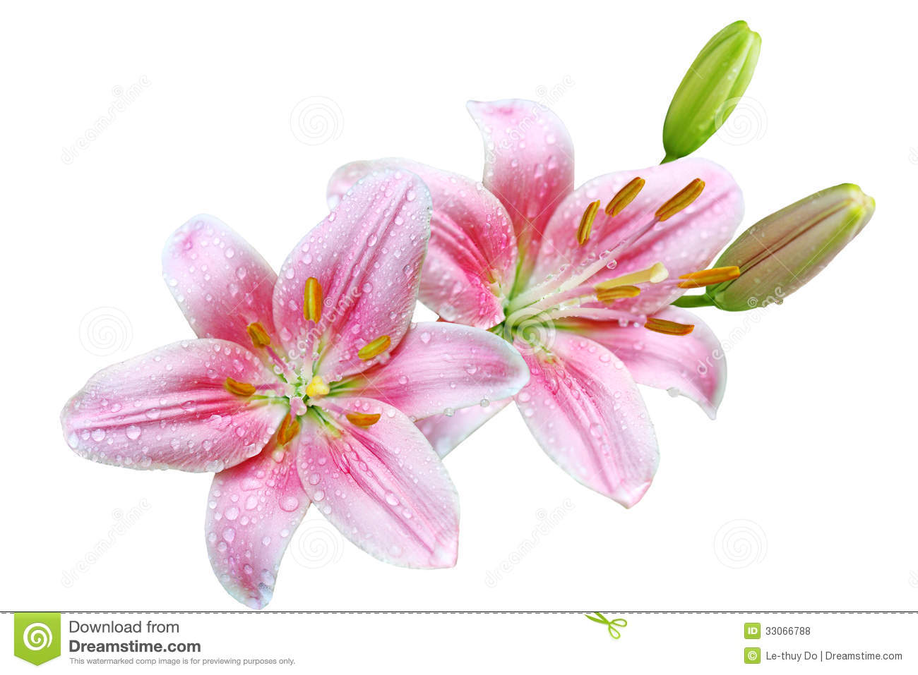 Pink Lily Flowers Stock Photo Image Of Floral Flora 33066788