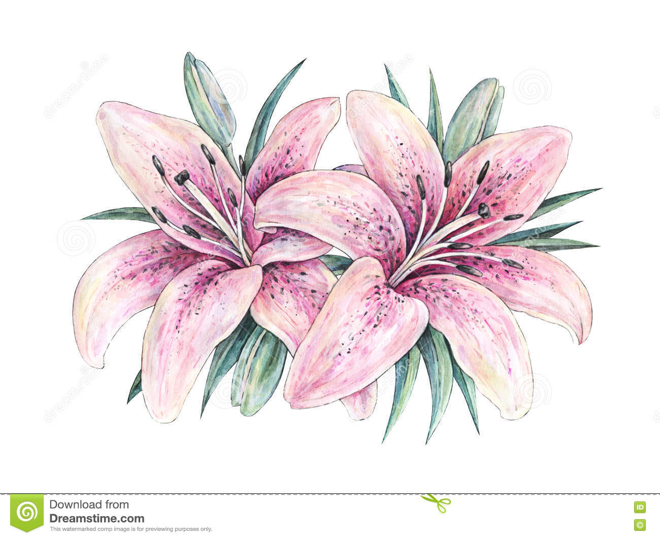 Pink Lily Flowers On White Background Watercolor Handwork