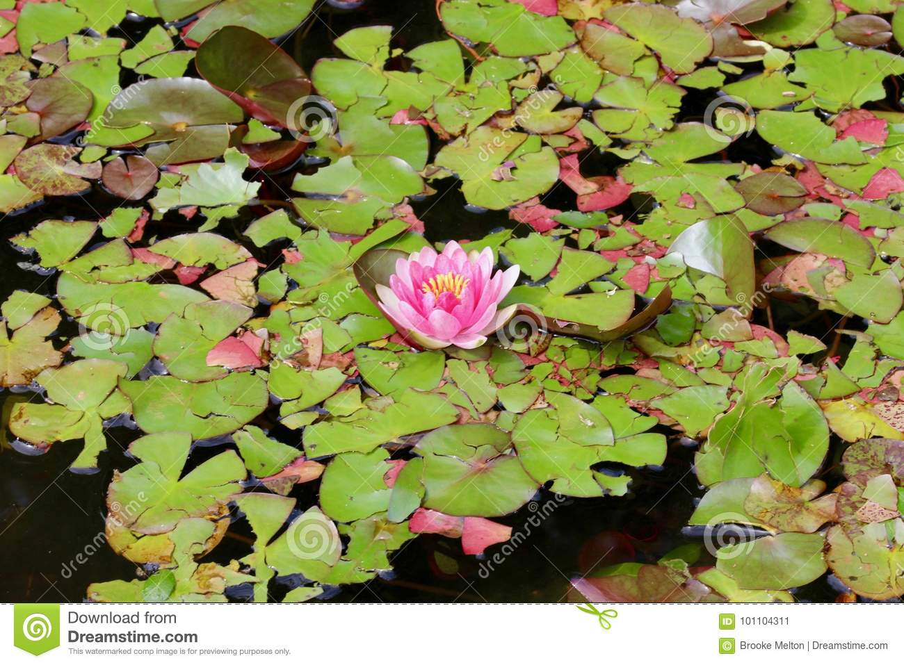 Pink Lily Pad Flower Surrounded By Lily Pads Background Texture