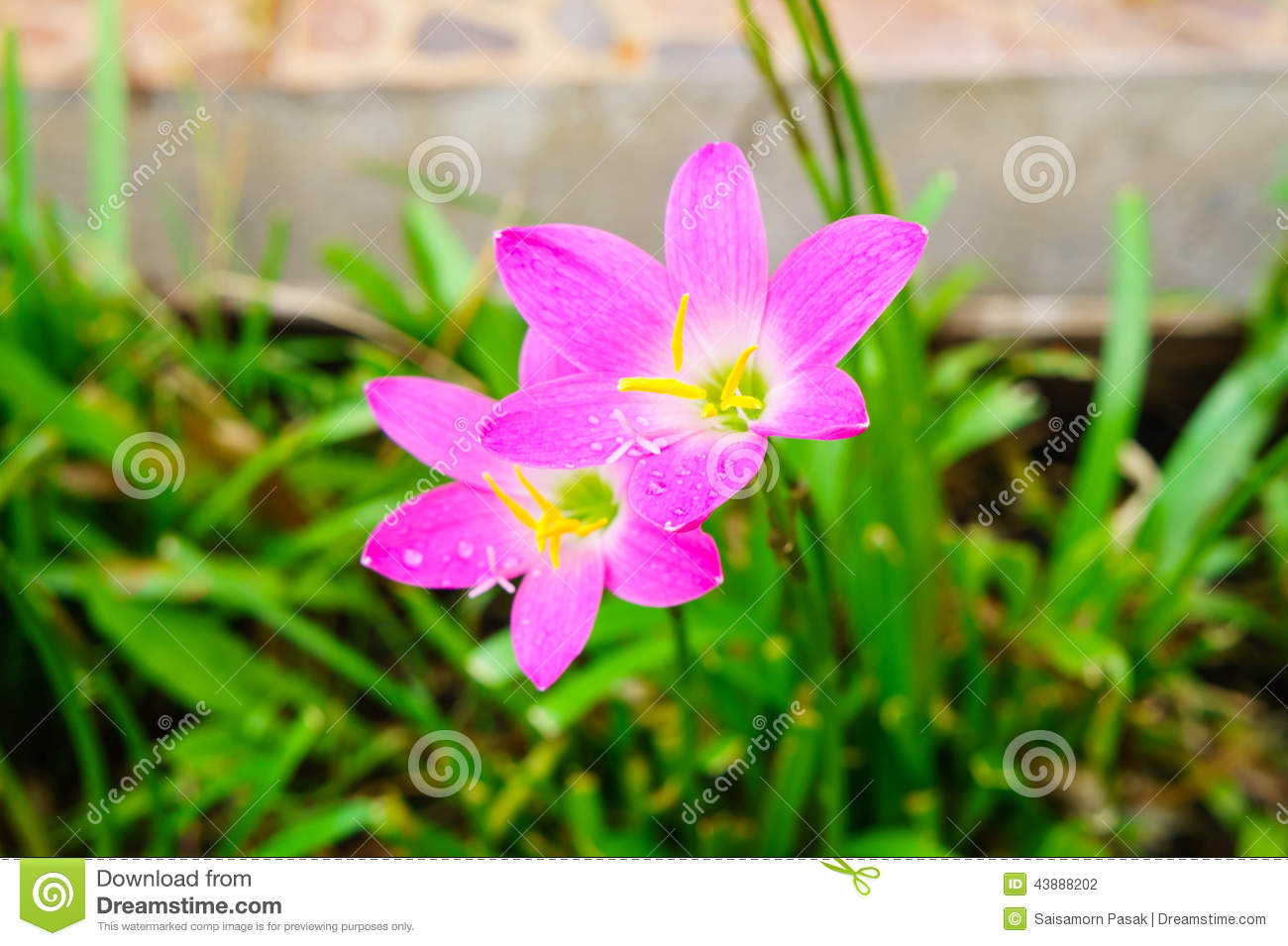 Pink Lily Rain Lily Flower Stock Photo Image Of Gardening 43888202
