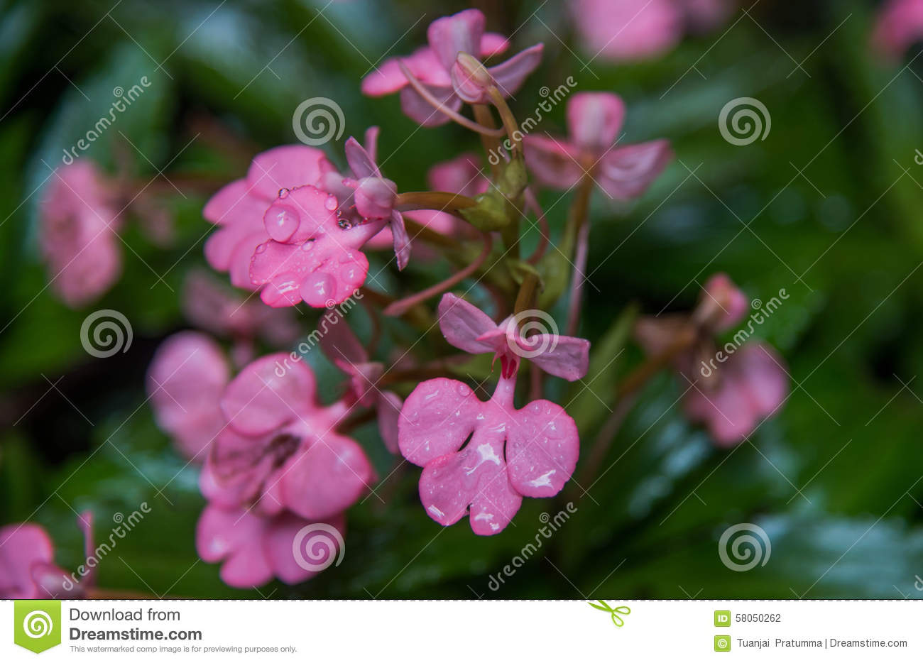 The Pink Lipped Habenaria Pink Snap Dragon Flower Found In Tro