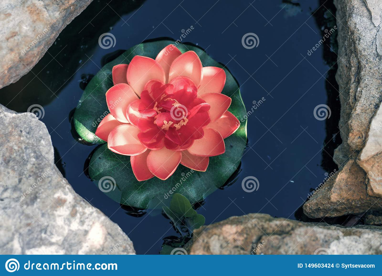 Pink Lotus in an artificial pond close-up