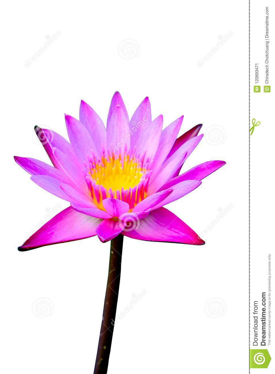 Pink Lotus Are Blooming Beautifully Stock Image Image Of Blossom