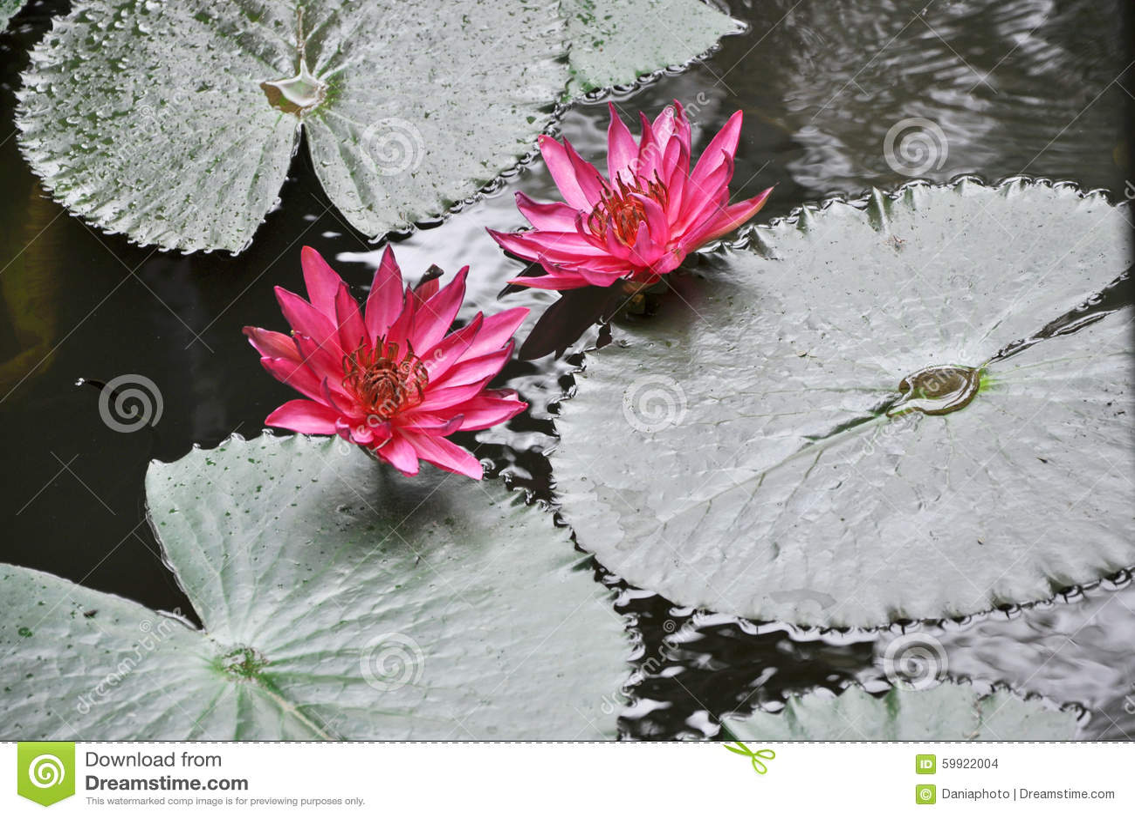 Pink lotus blooming on pond