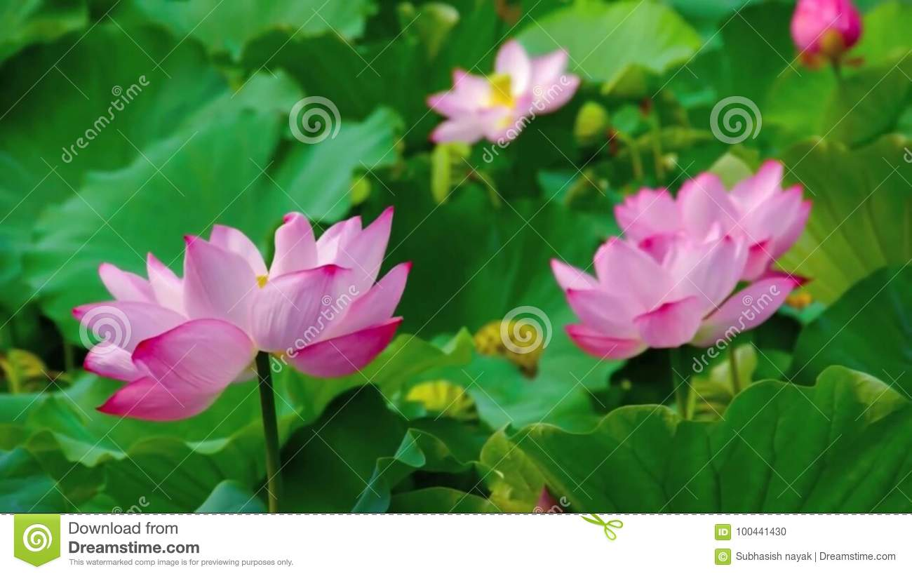 Pink Lotus Blossom Flowers Stock Photo Image Of Flowersphotography