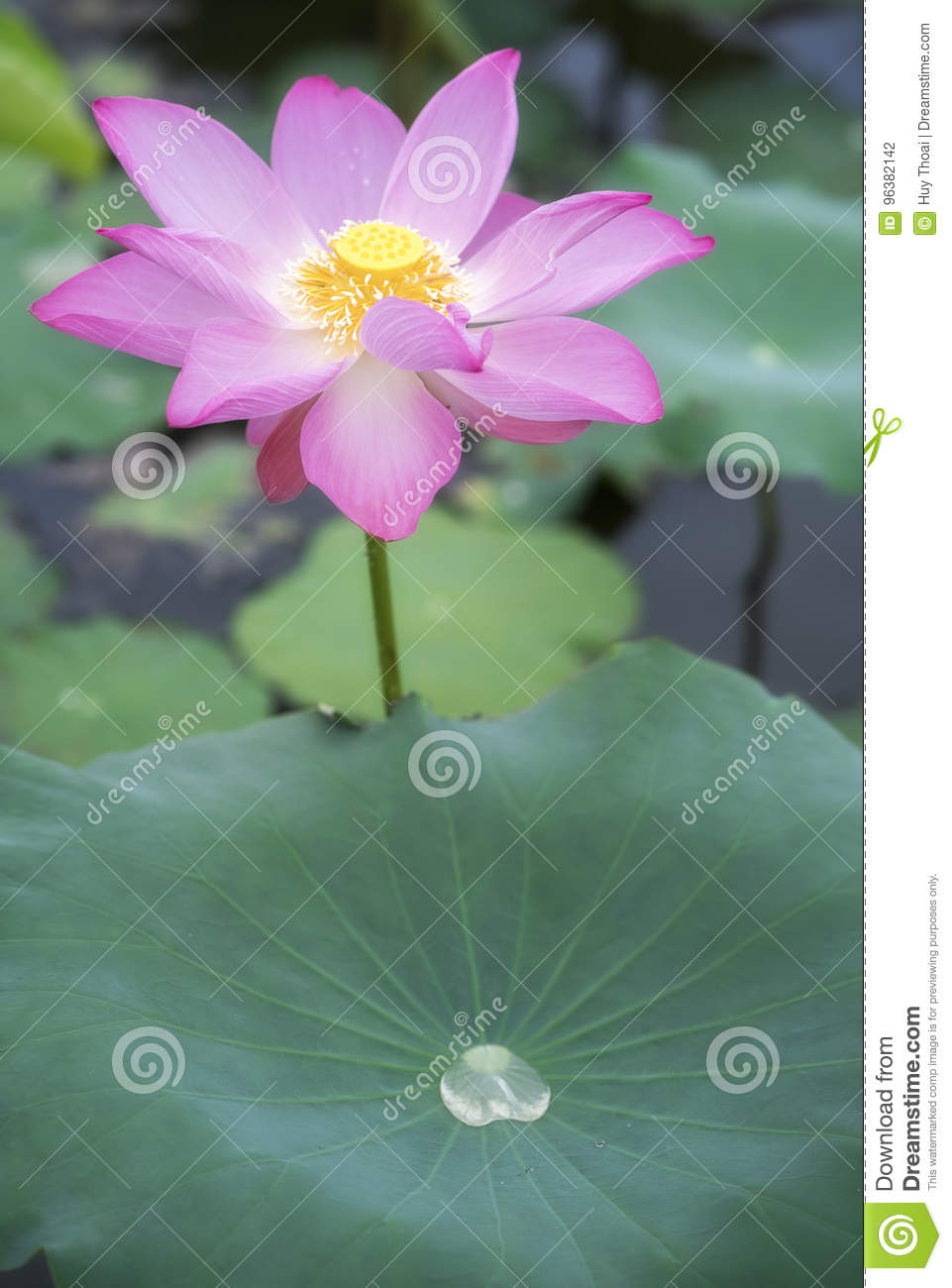 Pink Lotus Blossoming In The Pond Stock Photo Image Of Color Head