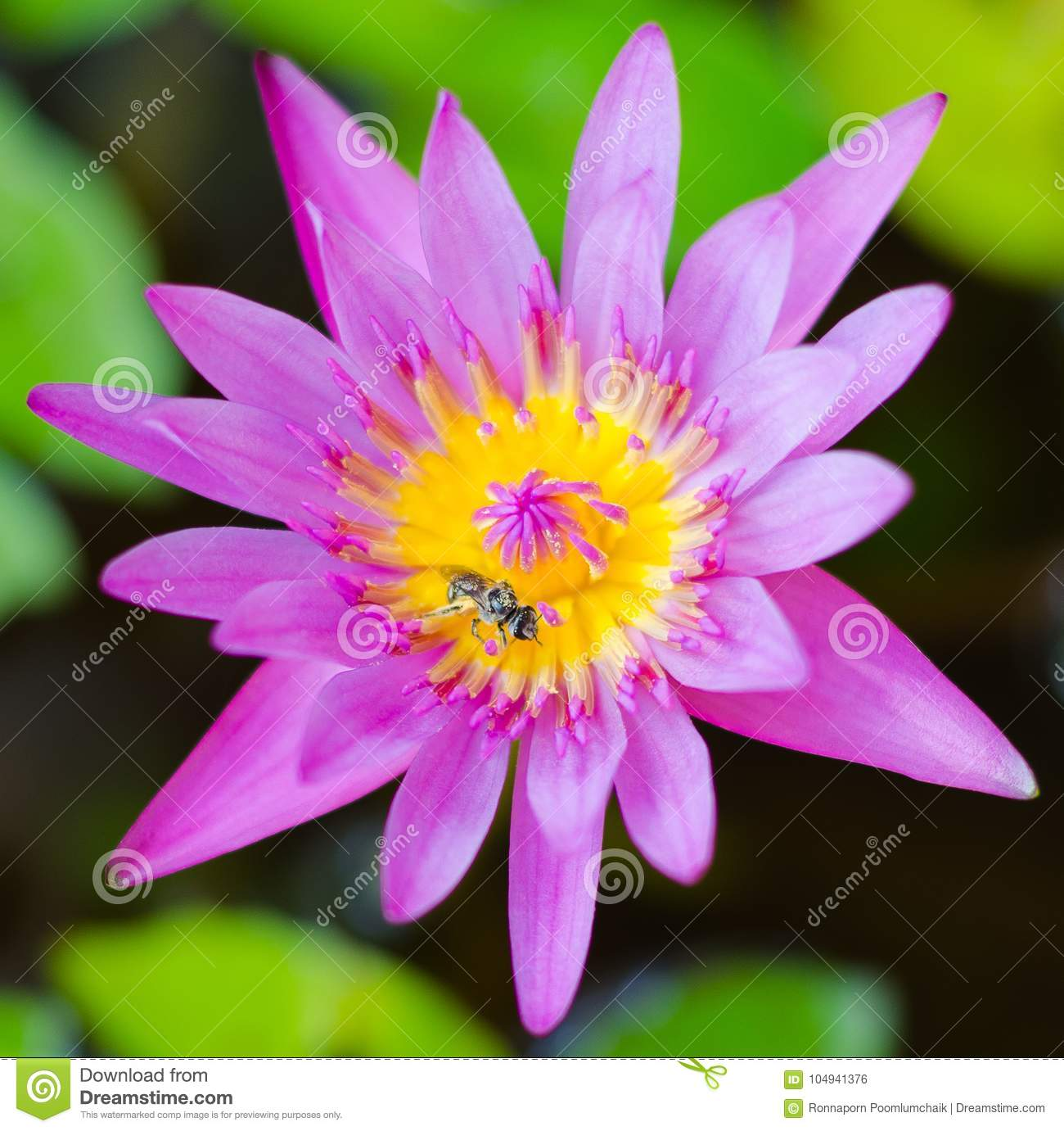 Pink lotus blossoms or water lily flowers blooming on pondpink pink lotus blossoms or water lily flowers blooming on pondpink izmirmasajfo