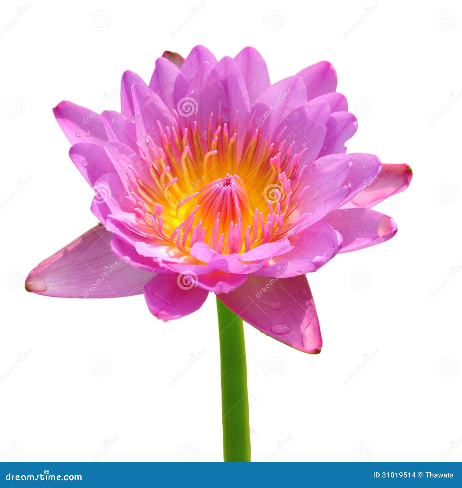 Pink lotus flower stock photo image of taiwan beautiful 31019514 beautiful lotussingle lotus flower isolated on white background izmirmasajfo