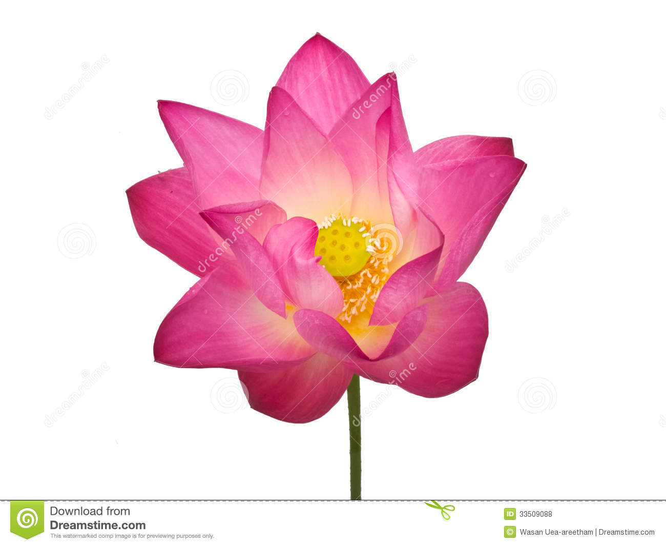 Beautiful Single Red Rose Flower Isolated Royalty Free: Pink Lotus Flower Royalty Free Stock Photos