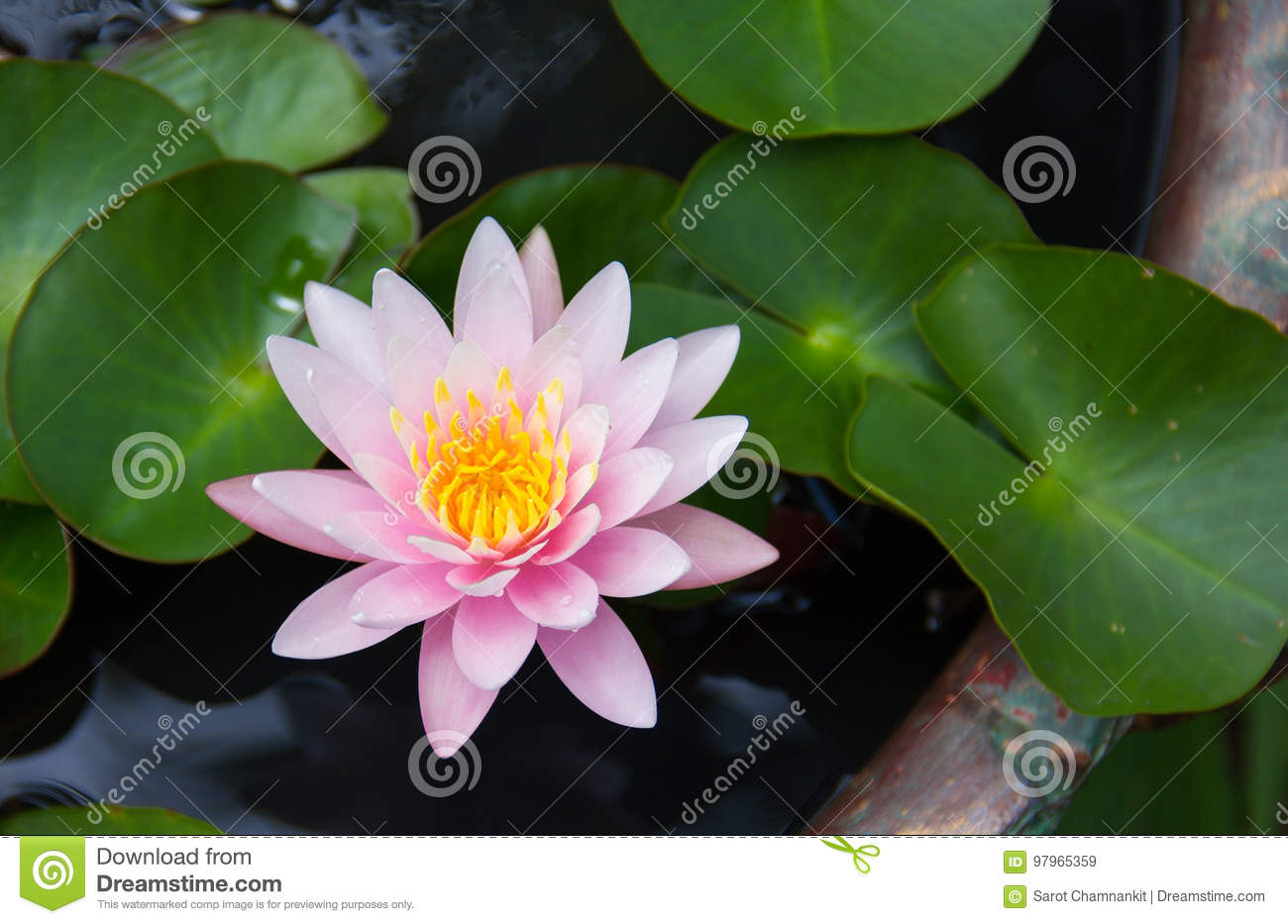 Pink lotus flower bloom in a pond stock image image of green download pink lotus flower bloom in a pond stock image image of green izmirmasajfo