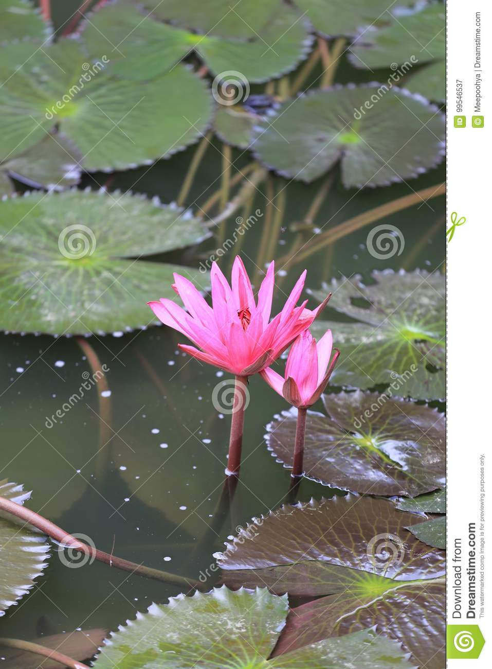 Pink Lotus Flower Bloom In Pondwater Lily In The Public Park Stock