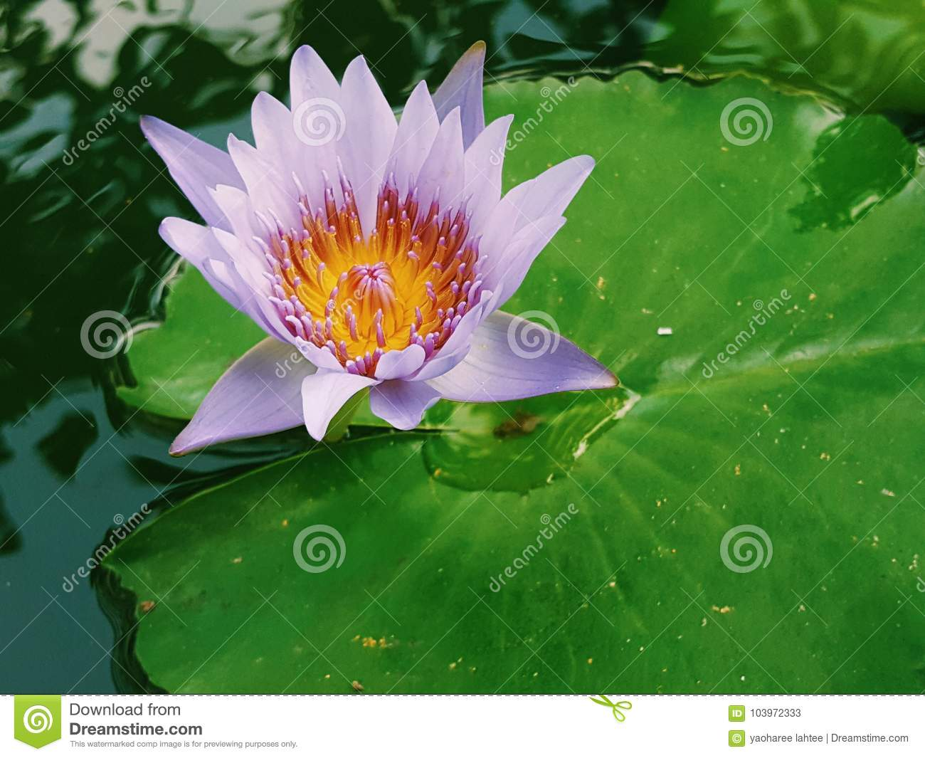 Pink lotus flower blooming on lotus leaf thailand in park stock download pink lotus flower blooming on lotus leaf thailand in park stock image image izmirmasajfo