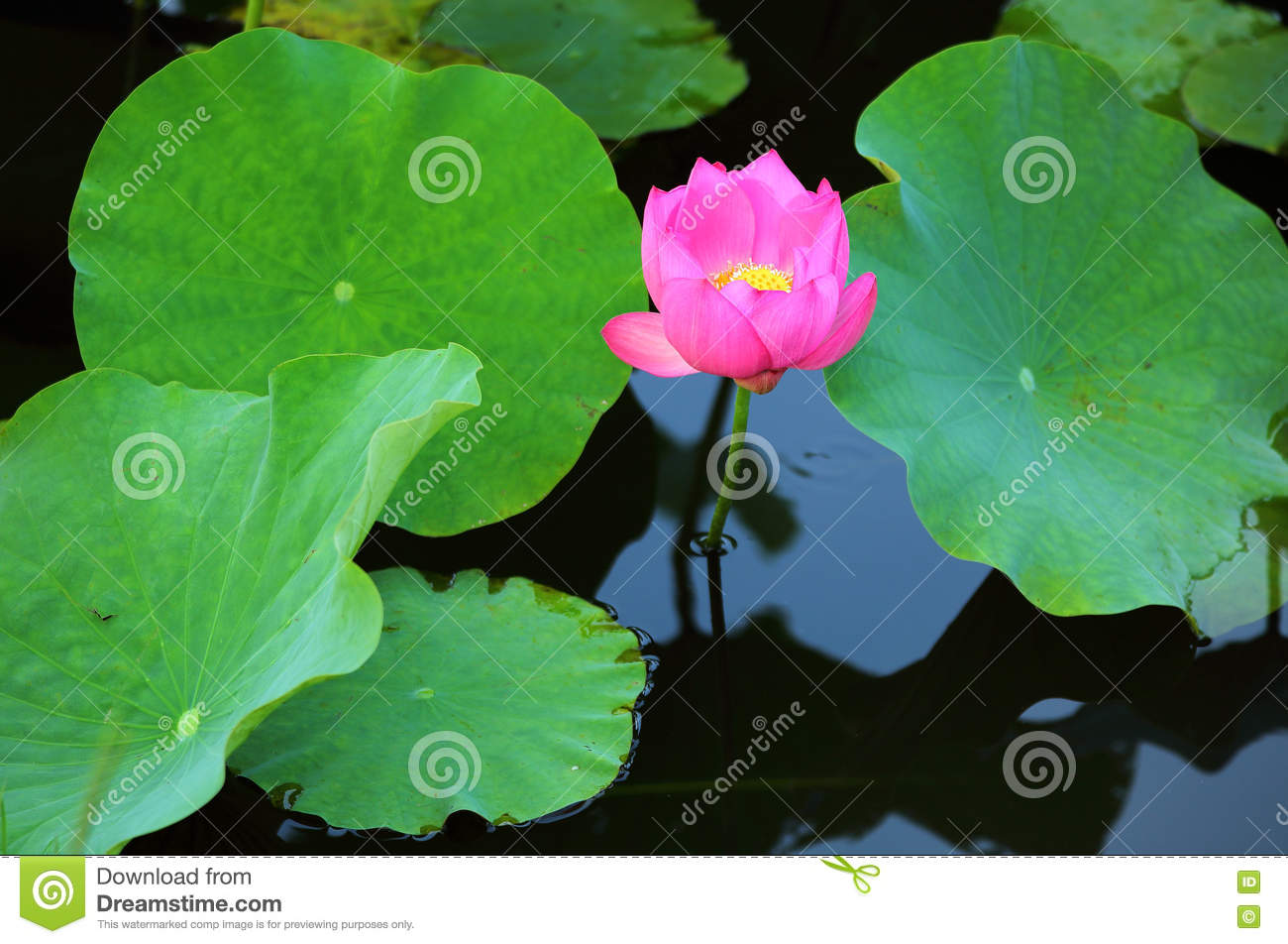 A pink lotus flower blooming among lush leaves in a pond with a pink lotus flower blooming among lush leaves in a pond with reflections on the smooth izmirmasajfo