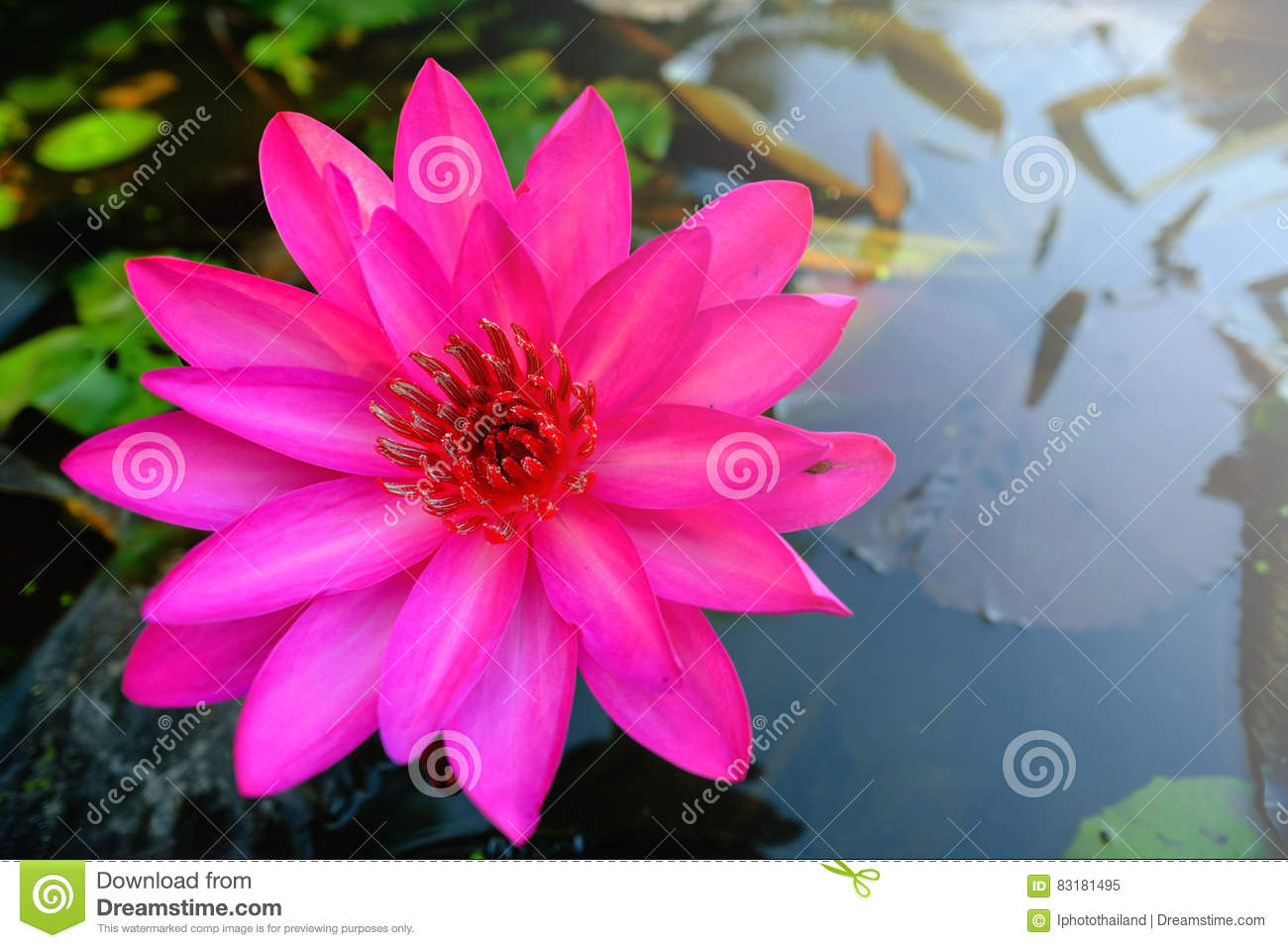 Pink lotus flower blooming on the water in garden stock image top view of beautiful pink water lily or pink lotus flower blooming on the water in gardenthailand selective focus with blurred background izmirmasajfo
