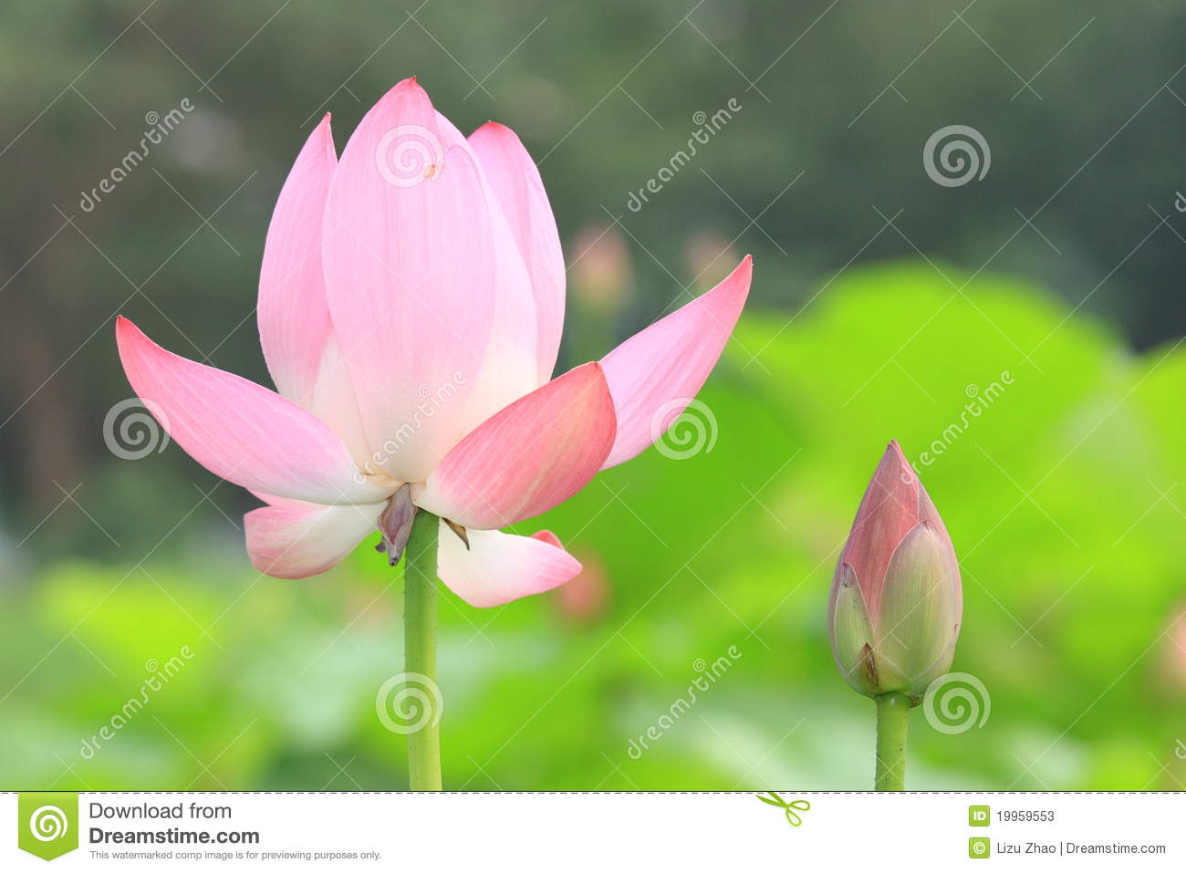 Pink lotus flower bud stock photos 5876 images pink lotus flower and bud the pink lotus and bud with green leaf stock photos izmirmasajfo