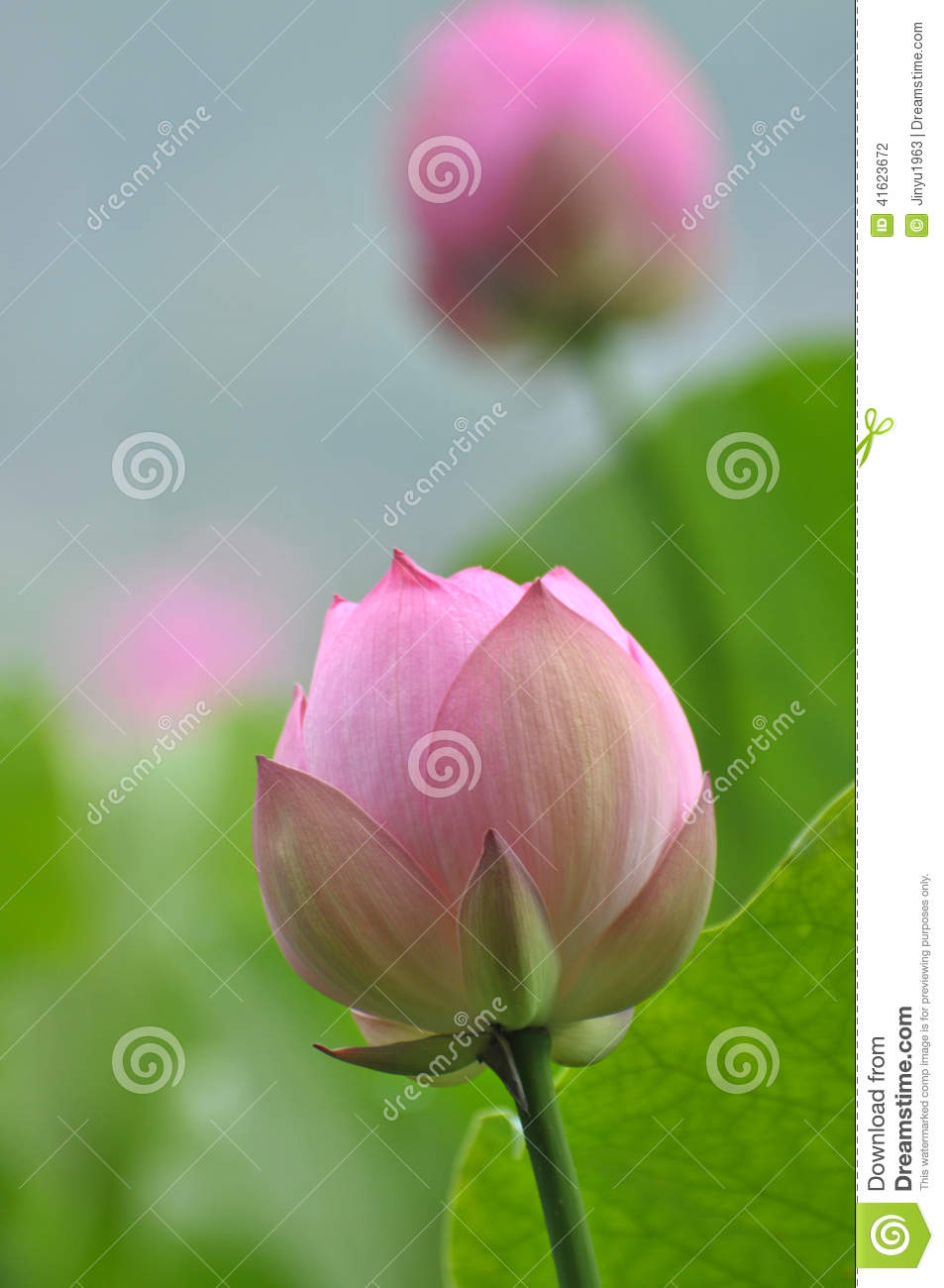 Pink Lotus Flower Buds Stock Photo Image Of Sunlight 41623672