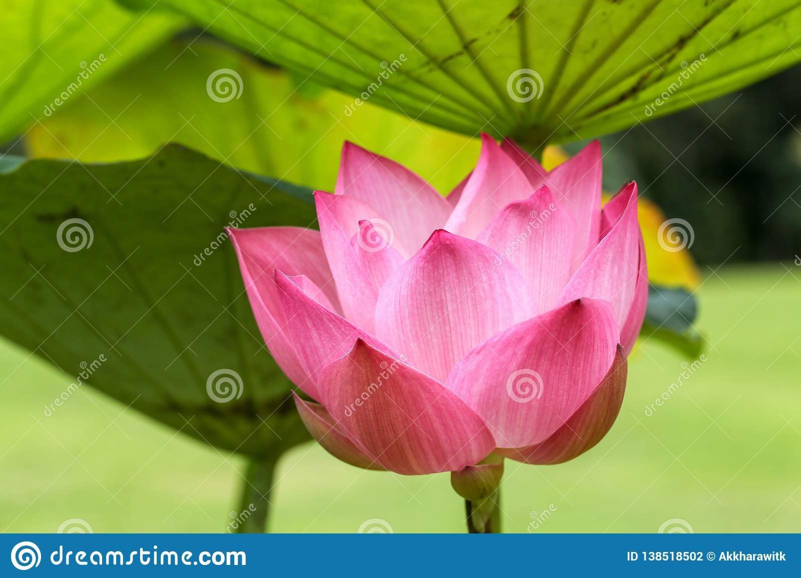 Pink Lotus Flower Close Up And Leaf Grown In The Natural Pond Stock