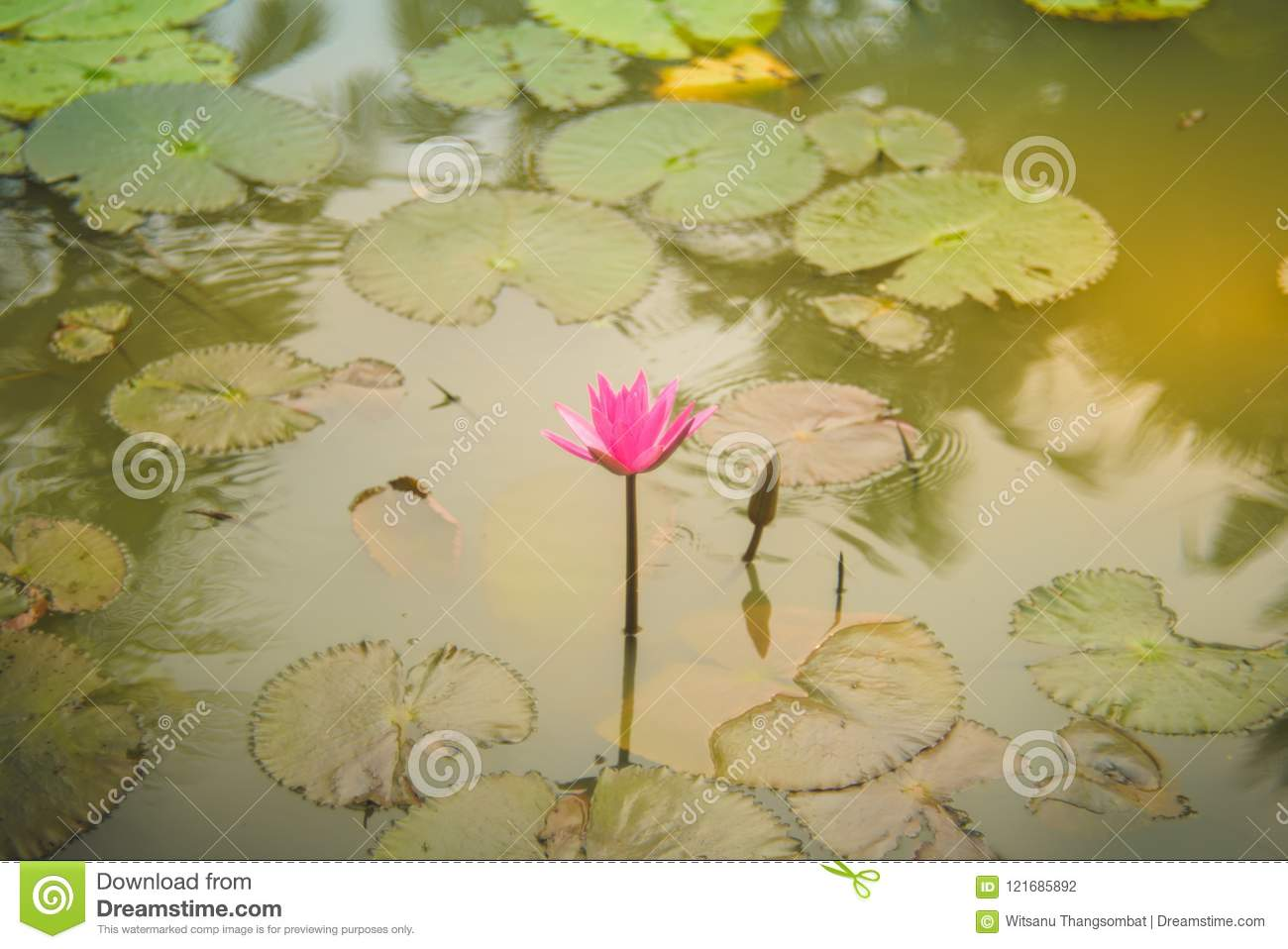 Pink Lotus Flower Is Complimented By The Rich Colors Of The Deep