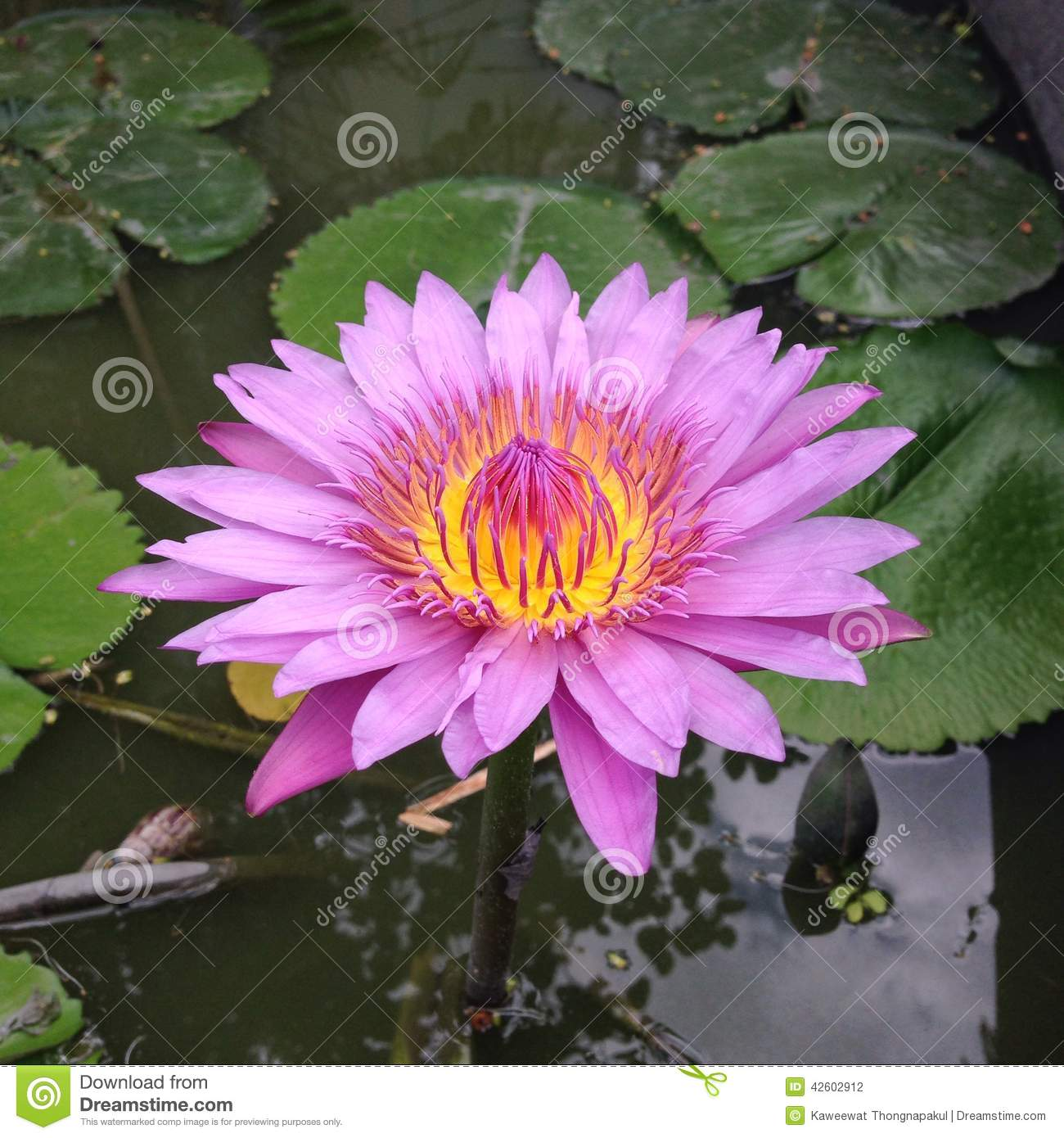 Pink Lotus Flower Floating In Pond Stock Photo Image Of Flower