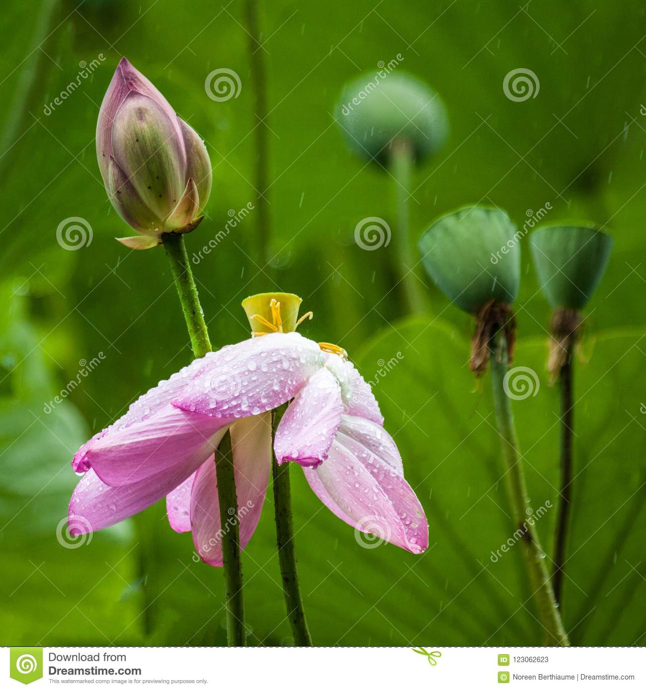 Pink Lotus Flower With Green Leaves And Bud And Seed Pod Stock Image