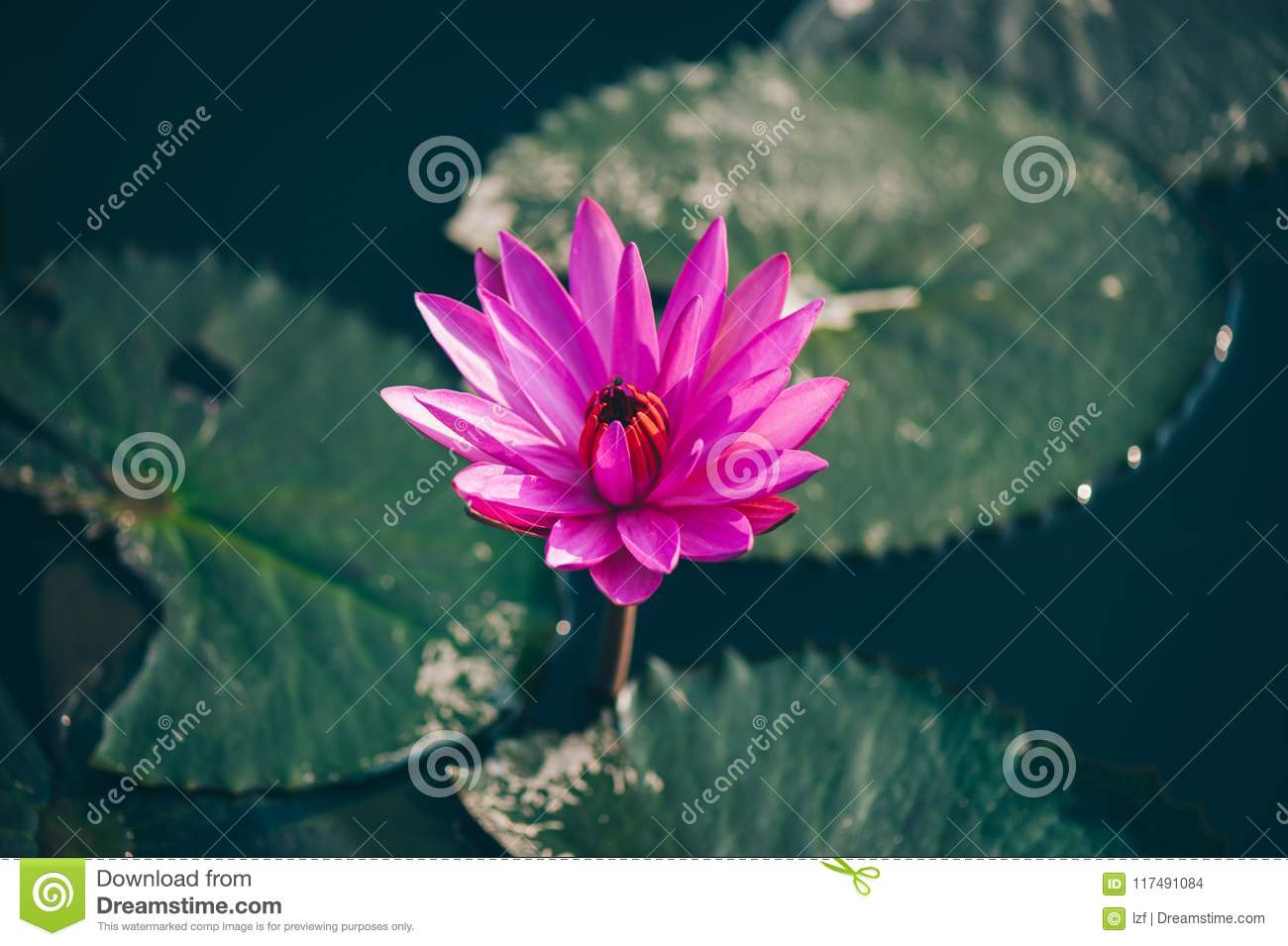 Pink lotus flower with green leaves stock photo image of peace pink lotus flower with green leaves mightylinksfo
