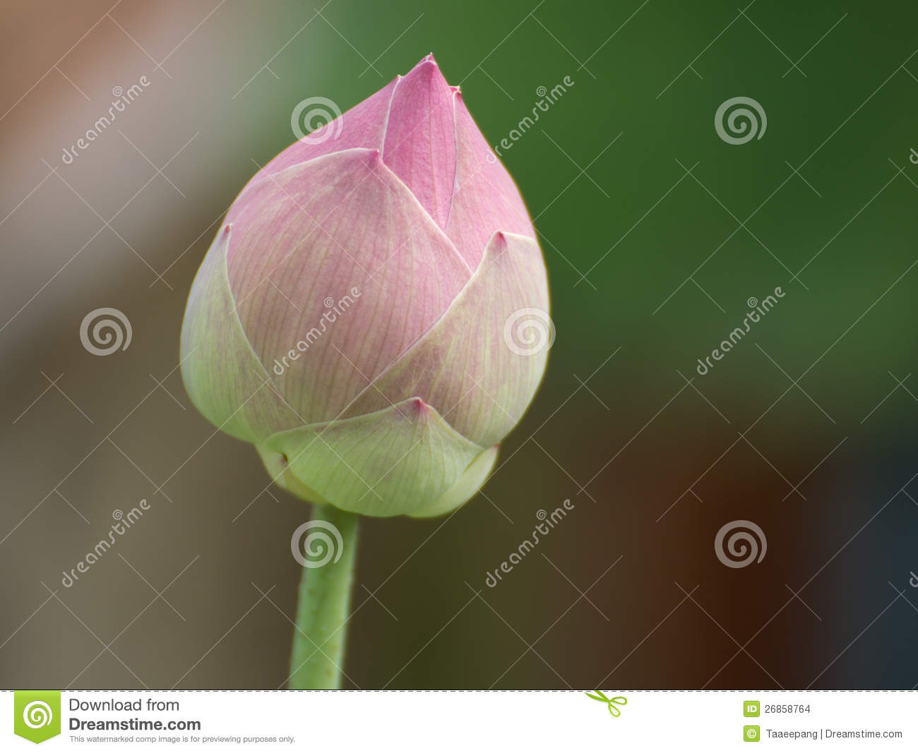 A Pink Lotus Flower Growing Upright Stock Photo Image Of Pivoting