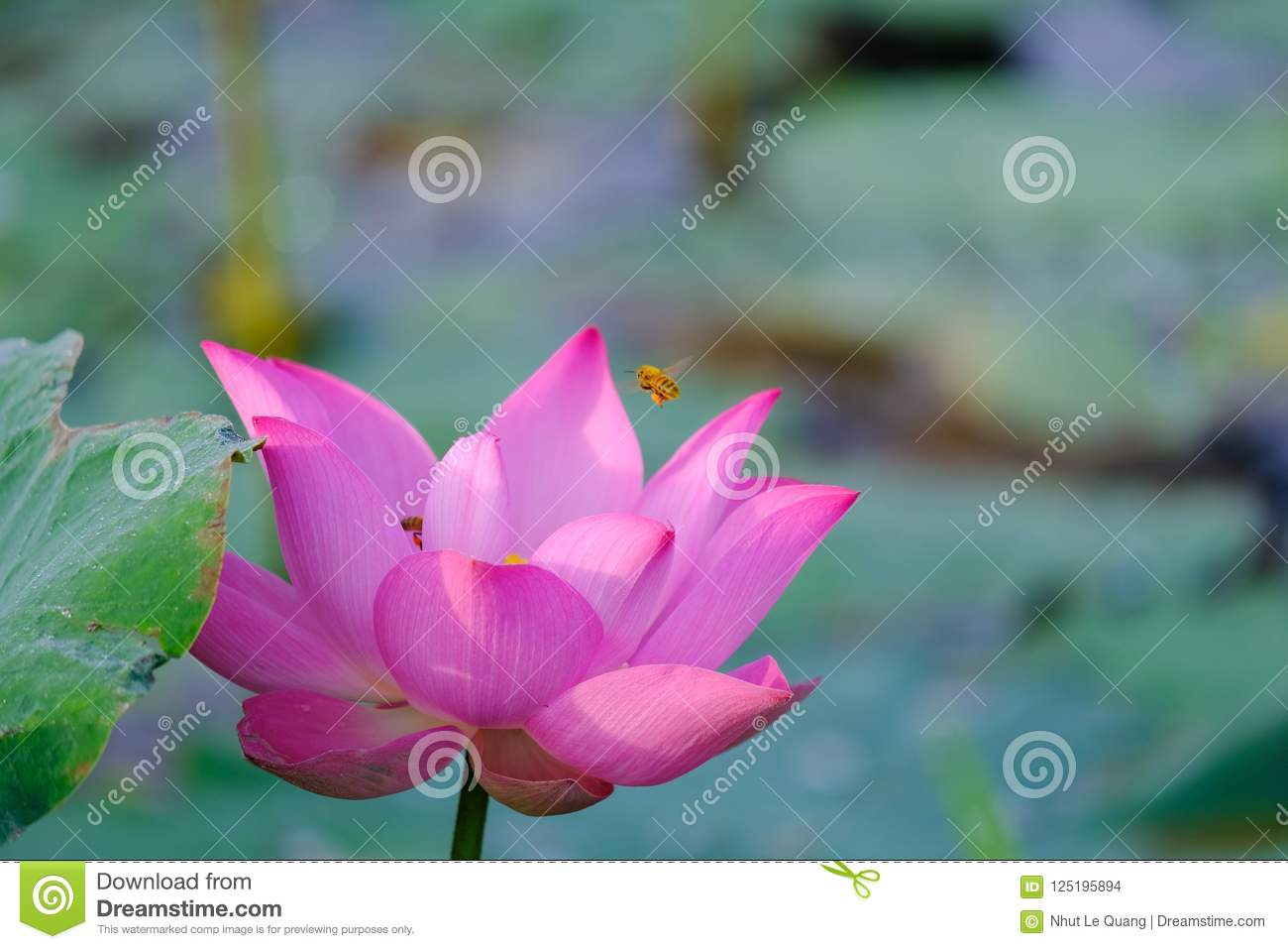 Pink Lotus Flower With Honey Bee Stock Photo Image Of Animals