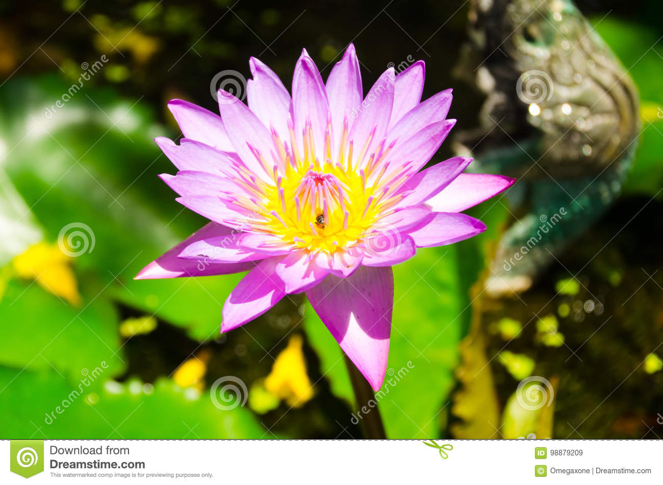 Pink Lotus Flower La Called Pathum Stock Image Image Of Country
