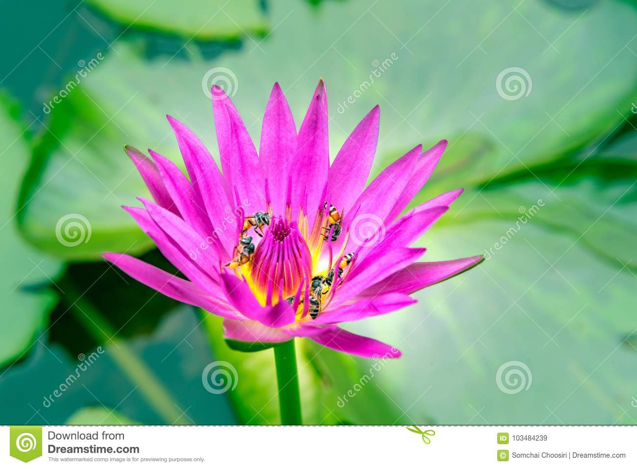 Pink Lotus Flower Stock Image Image Of Light Floral 103484239