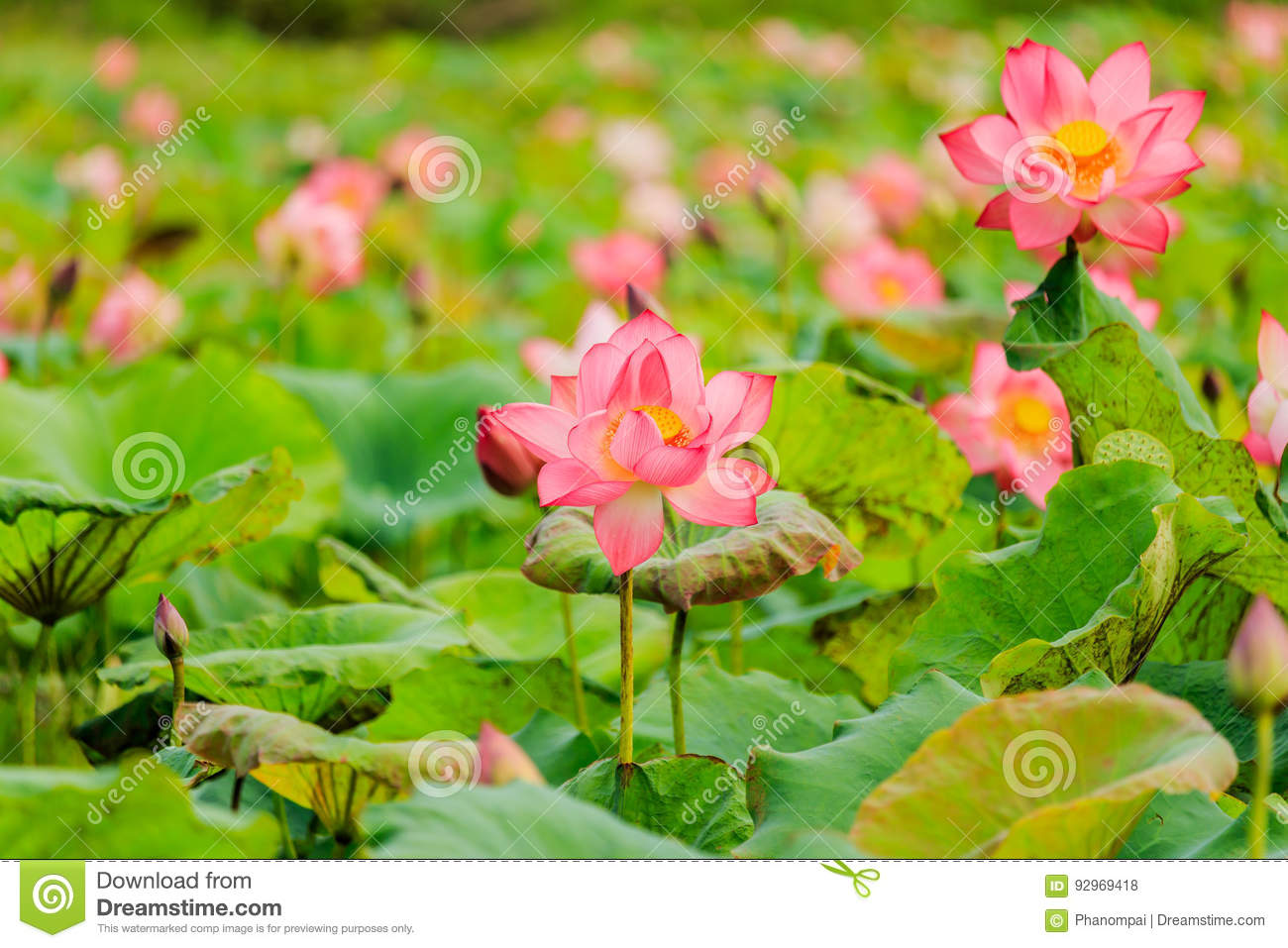Pink Lotus Flower And Lotus Flower Plants Stock Photo Image Of