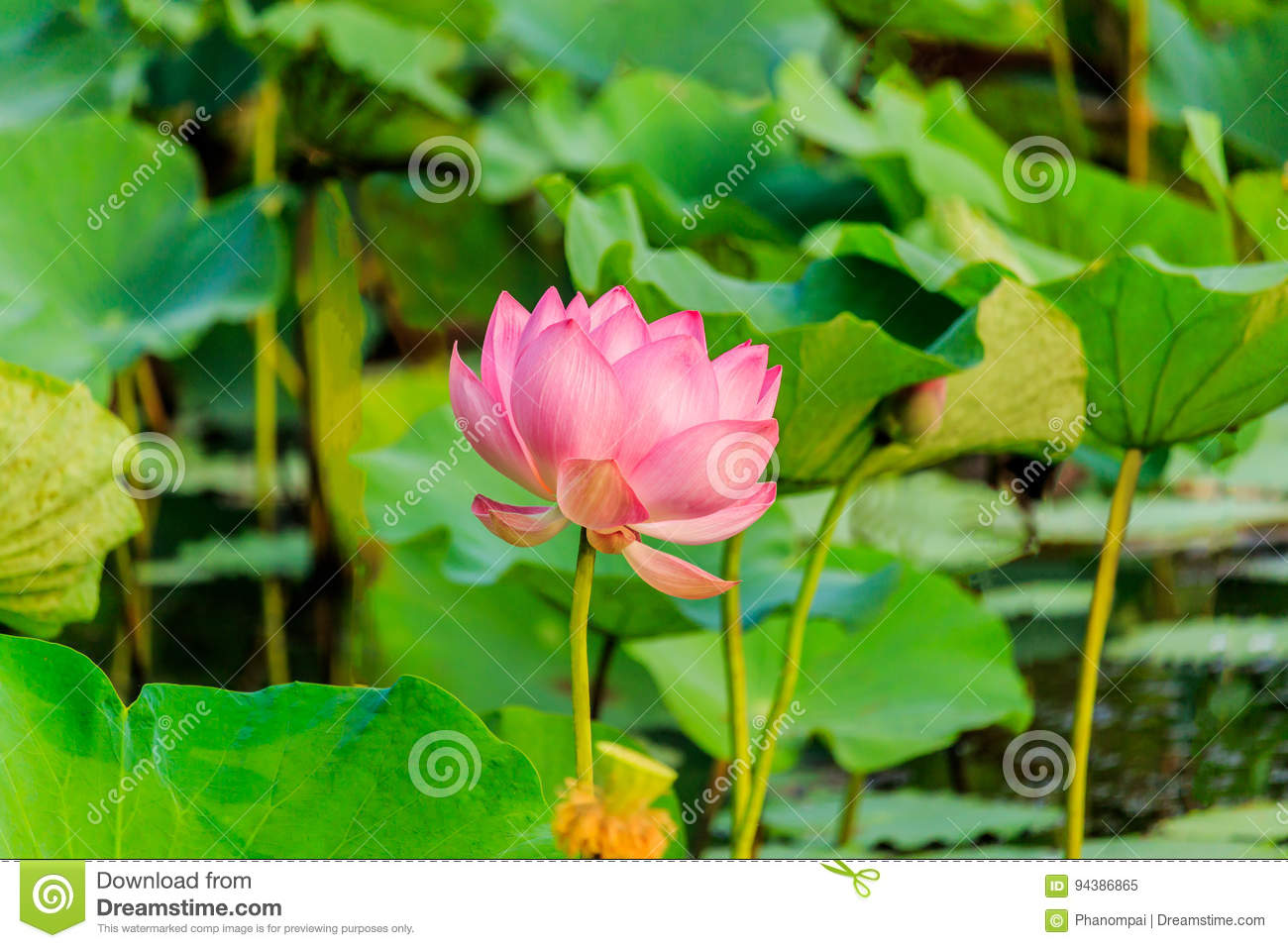 Pink Lotus Flower And Lotus Flower Plants Stock Image Image Of