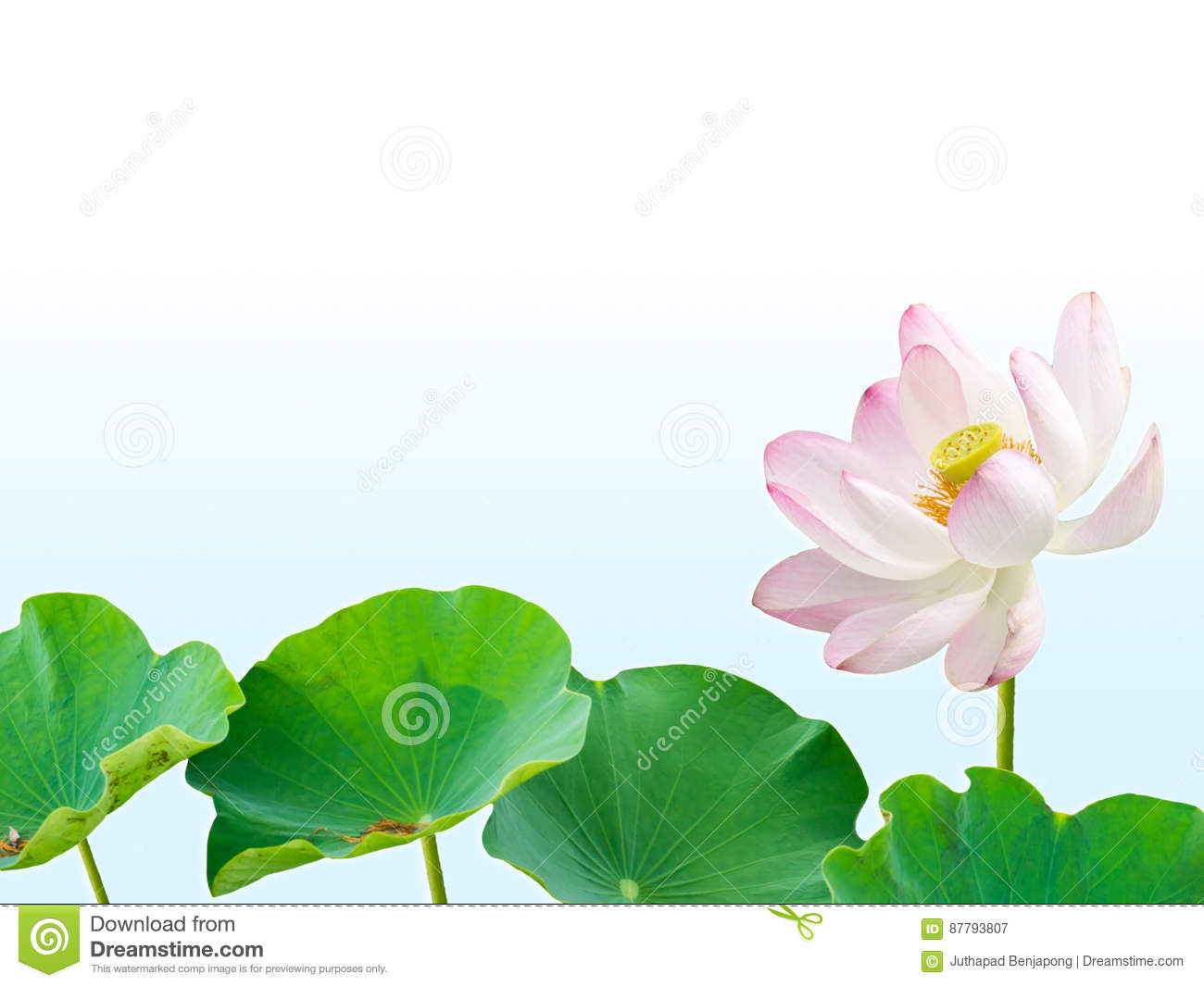 Pink Lotus Flower And Lotus Leaves Isolated On Blue Gradient