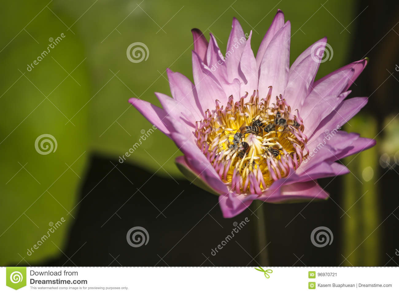 Pink Lotus Flower And Many Bees Inside Close Up Picture Stock Image
