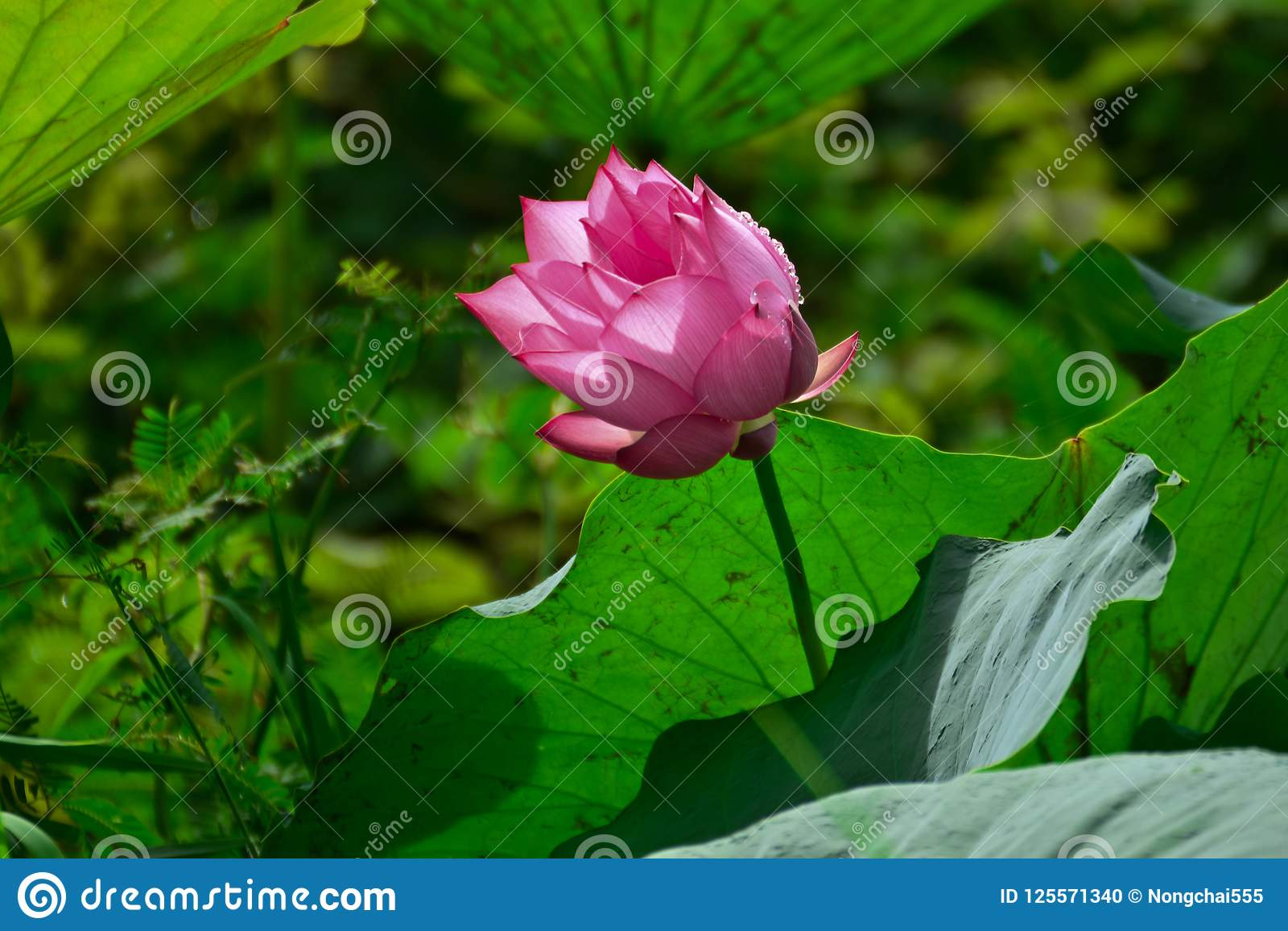 Pink lotus flower in morning stock photo image of isolated image pink lotus flower in morning refreshment and peace of nature in southeast asia mightylinksfo