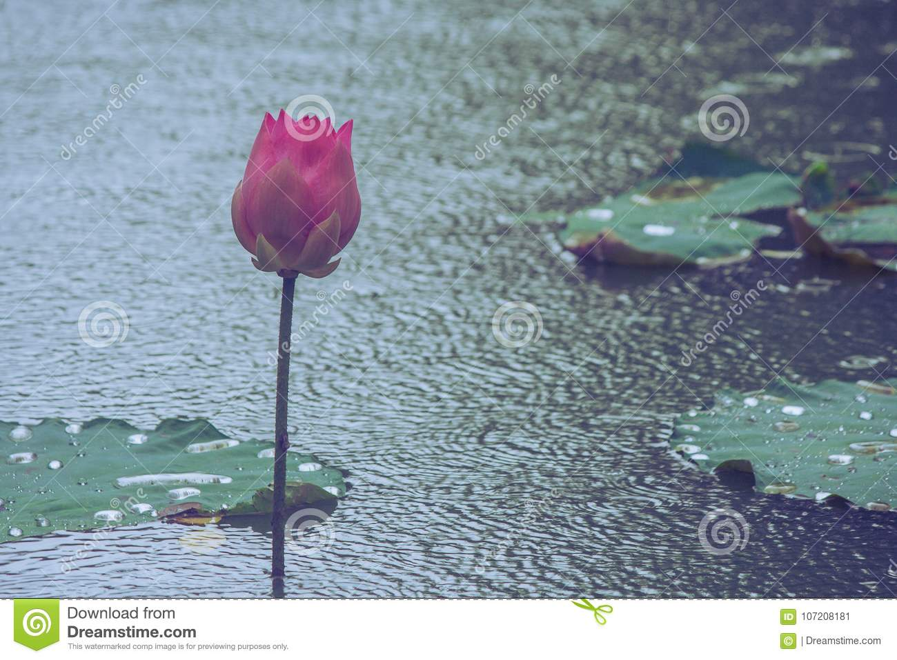 Pink Lotus Flower Poked Through Water In Pond At Public Park In