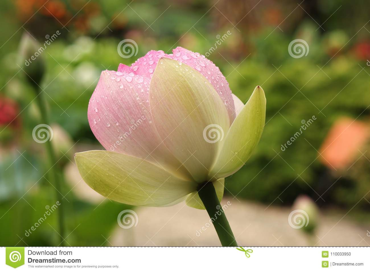 Pink lotus flower with raindrops stock photo image of flower download comp izmirmasajfo
