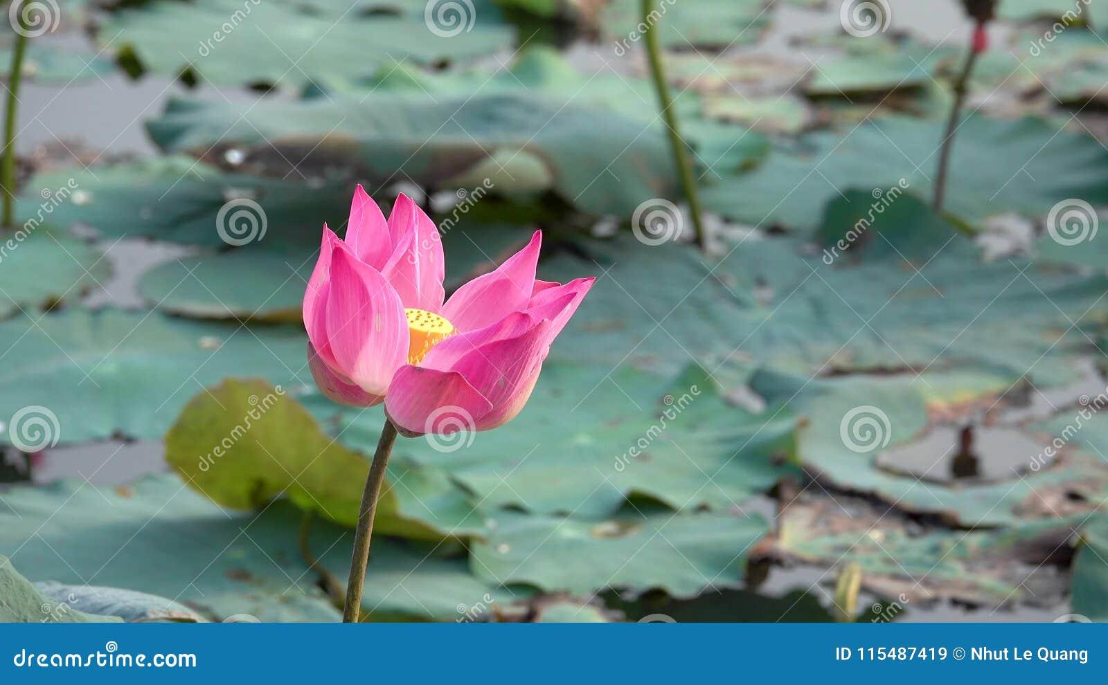 Pink lotus flower blowing in wind stock video video of green asia pink lotus flower blowing in wind stock video video of green asia 115487419 mightylinksfo