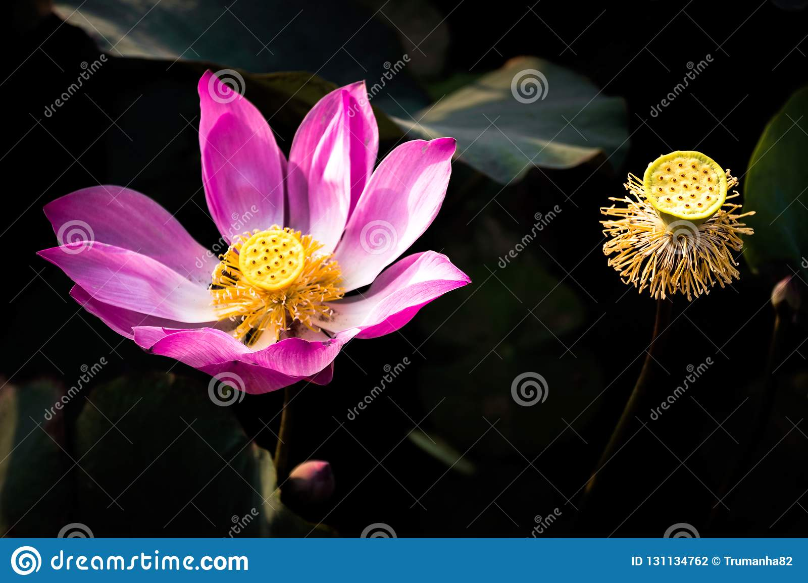Pink Lotus Flower And Seed Pods In Black Background Stock Photo