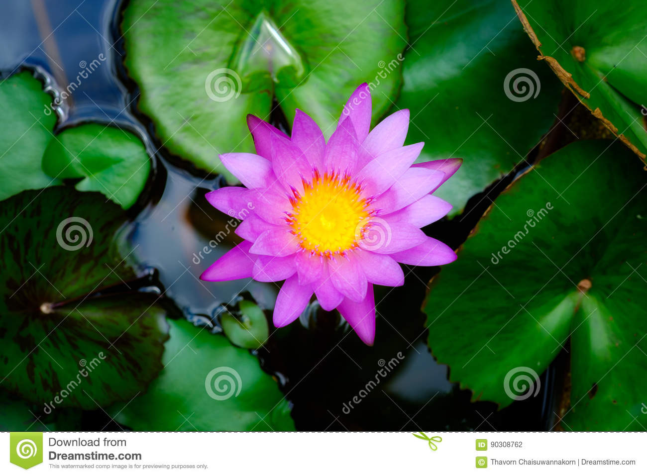 Pink lotus flower top view stock photo image of color 90308762 pink lotus flower with dark background izmirmasajfo