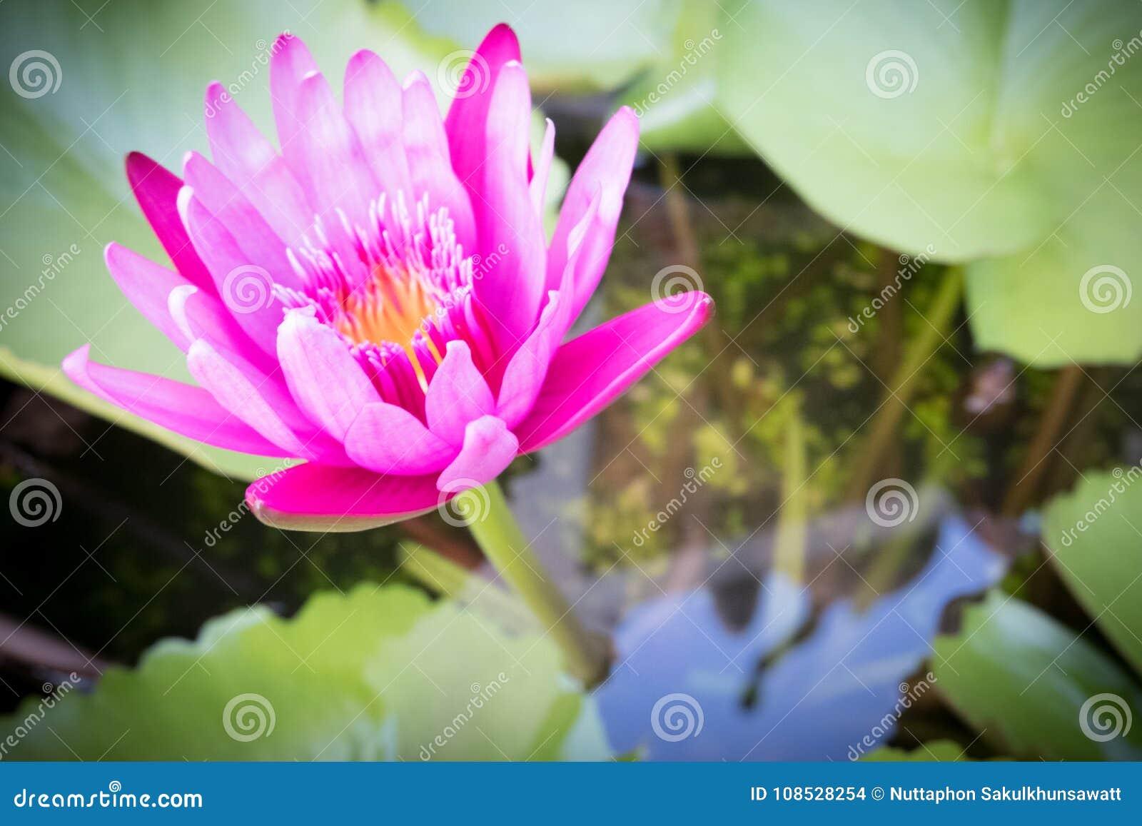 Pink Lotus Flower Lotus Flower Is Water Plant Stock Photo Image